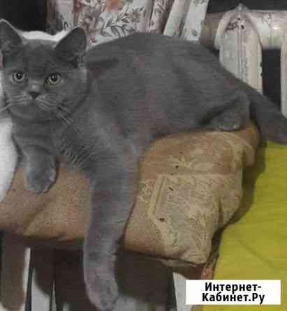 Британский кот Серпухов