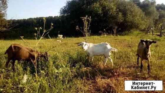 Козы и Овца Ребриха