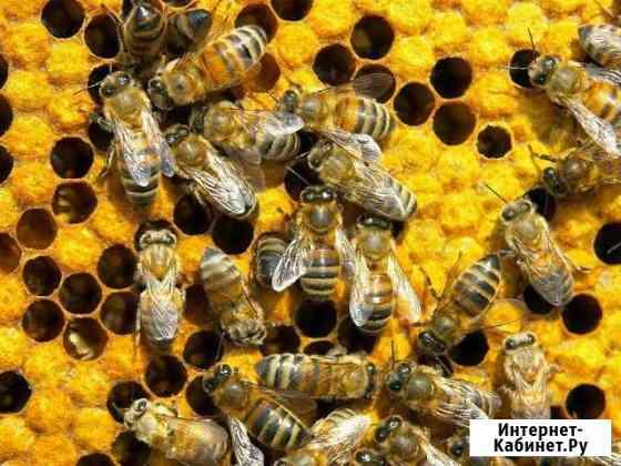 Пчелосемьи, Пчелопакеты Белгород