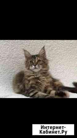 Котёнок мейн-кун Серпухов