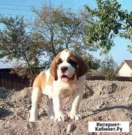 Сенбернара щенков (в наличии,доставка по миру) Владивосток