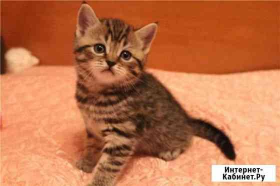 Шотландские котята Горно-Алтайск