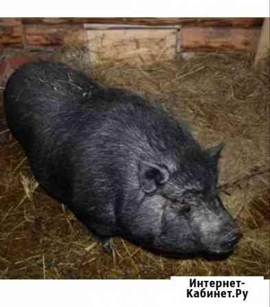 Продам свиней (въетнамцы) Петропавловск-Камчатский