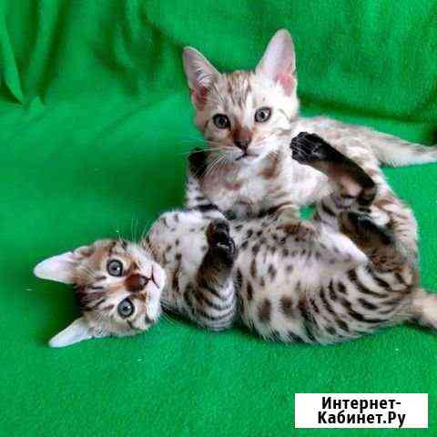 Бенгальские котята.Золотые и снежные Петропавловск-Камчатский