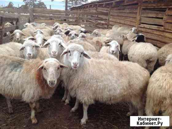 Бараны и овцы Улан-Удэ