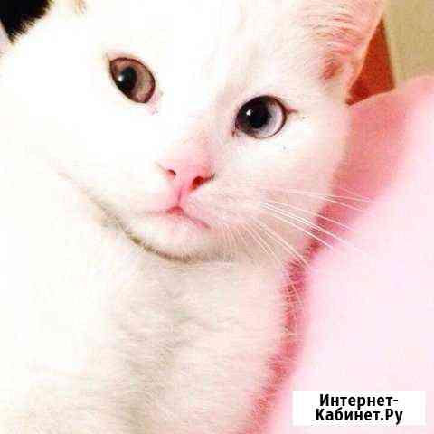 Котик Турецкая Ангора разные глаза Абакан