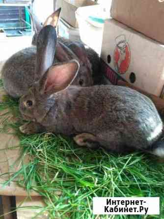Кролики породы Фландры(Бельгийский великан) Краснодар