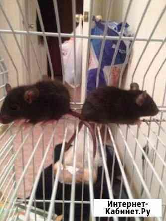 Маленькие крысята Ижевск