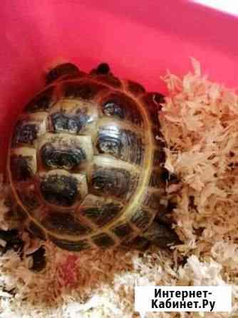 Черепаха Братск