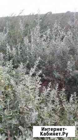 Саженцы деревьев Вяза, Акации, Лоха, Смородины, Ду Яшкуль