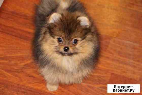 Шпиц миниатюрный щенки Великий Новгород