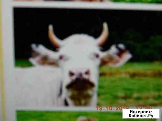 Корова Волгоград