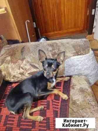 Найдена собачка,девочка отдам бесплатно Абакан