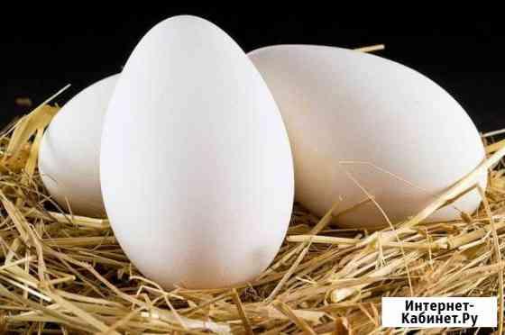 Яйцо для инкубации гусиное,утиной Голицыно
