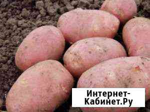 Картофель Рокко Елань-Колено