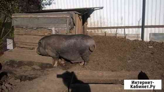 Вьетнамские свиноматки Дмитров