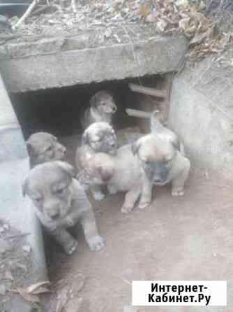 Щенки большой собаки Улан-Удэ