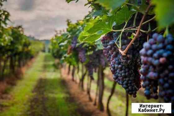 Уход за виноградной плантации Тюбе