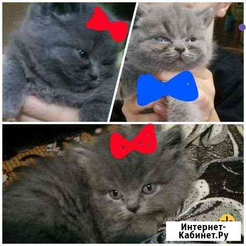 Продаю котят Скотишь страйт хайленд, родились 3 се Улан-Удэ