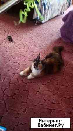Полидактильная кошка мейн-кун Абакан