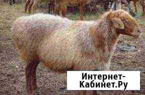 Бараны Улан-Удэ
