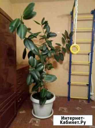 Фикус, растение Юрьев-Польский