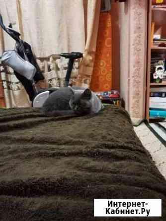 Отаб кошку в хорошие руки порода экзот Петропавловск-Камчатский