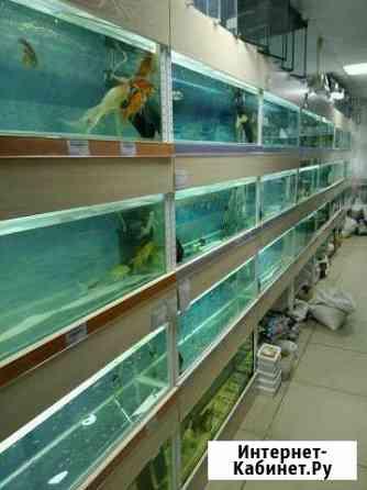 Рыба аквариумная Чита
