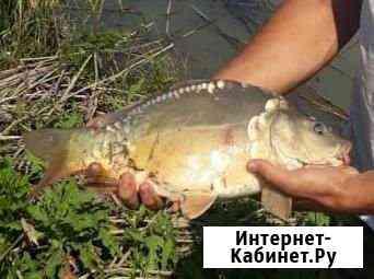 Карп зеркальный Краснодар