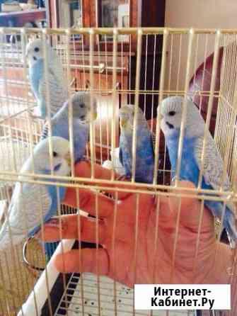 Птенцы волнистых попугаев ручные Москва