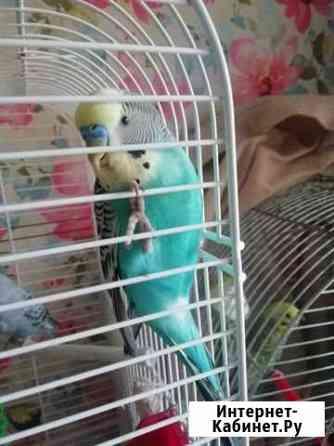 Волнистые попугаи Щербинка