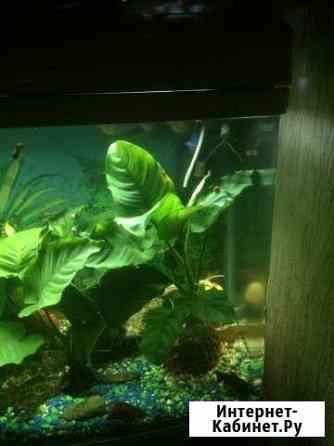 Растения в аквариум, очень красивые, цветут Благовещенск