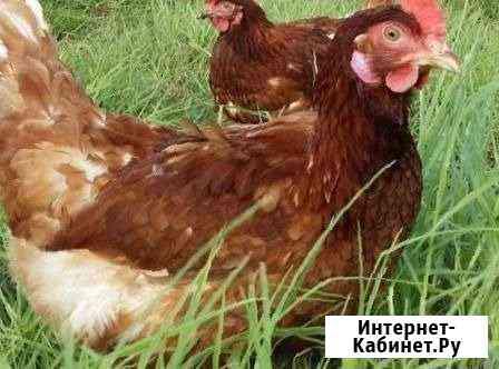Несушки Хайсекс браун Симферополь