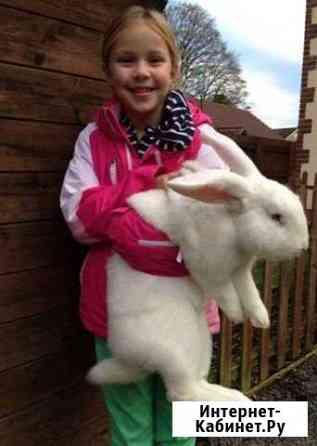 Кролики чистокровный белый великан Абакан