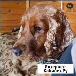 Пропала собака. Английский кокер Москва