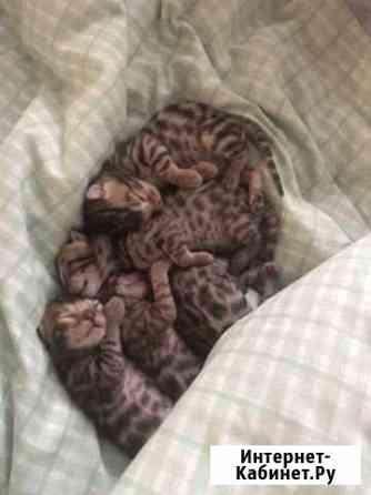 Бенгальские котята Нефтеюганск