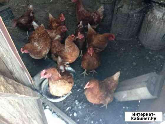 Продам куриц Бийск