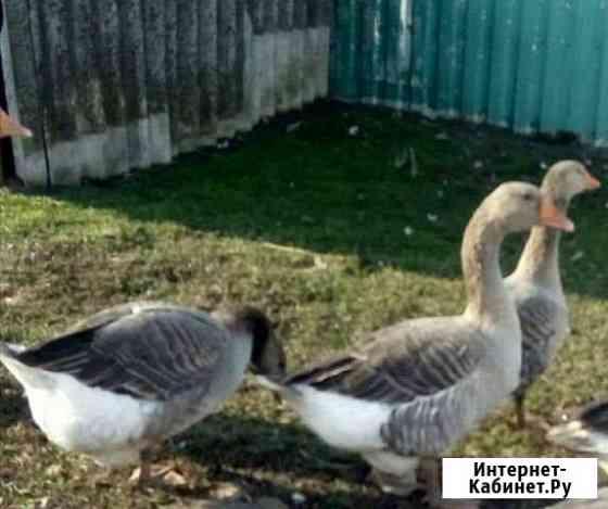 Гуси, утки бегунки, каюга, дикие Суджа