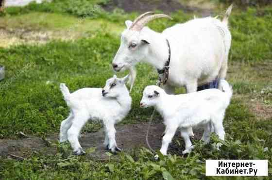 Коза и два козлёнка Михайловск