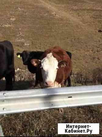 Коровы и тёлки Нальчик