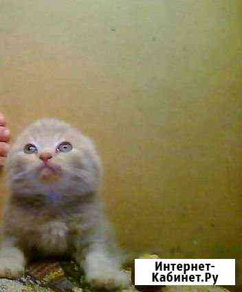 Шотландские котята Великий Новгород