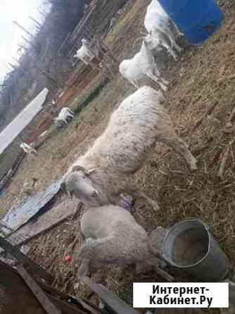 Ягнята овцы Усть-Джегута