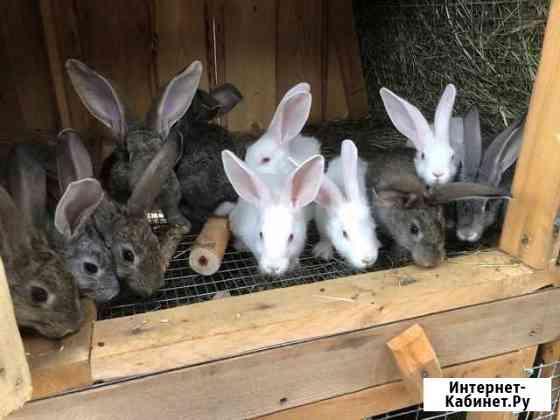 Кролики Абакан