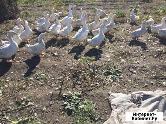 Утки взрослые Абакан