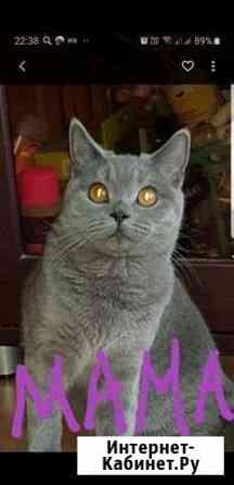 Шотландские котята Чита