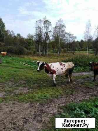 Корова айширка Струги Красные