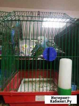 Волнистый попугайчик Атамановка