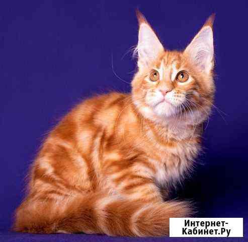 Очень крупные котята Мейнкунята Абакан