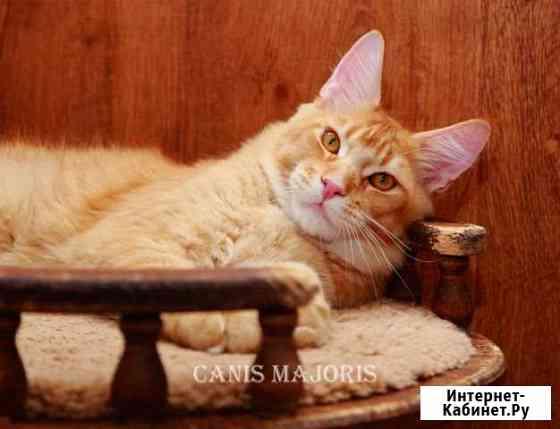 Котик Canis Majoris Joker Мурманск