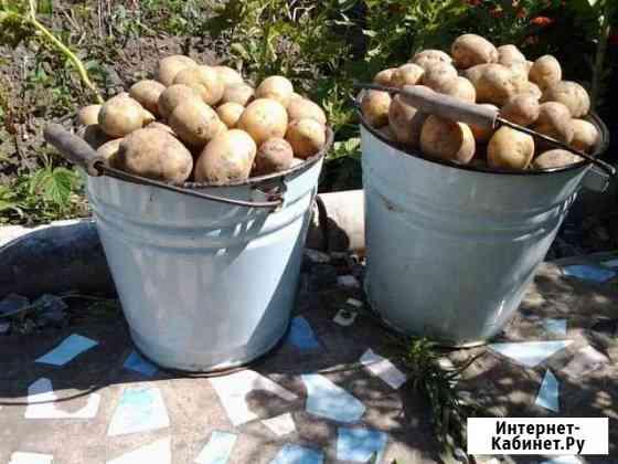 Картофель домашний Юрьев-Польский